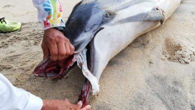 Photo of Un pañal asfixia a una joven hembra de delfín en Oaxaca
